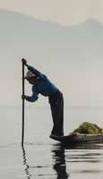 Another fisherman harvesting seaweed to build the 'floating islands' of Inle Lake.